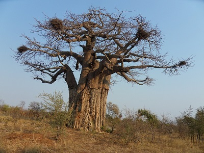Baobab Tree, Limpopo, South Africa 400